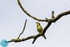 Icterine Warbler (Hippolais icterina)