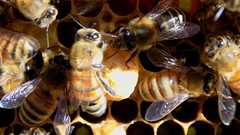 Queen Cell (center) in H1G derived nucleus hive - June 2016 winter (nicephotog) Tags: macro closeup european nest cell queen bee wax honeycomb honeybee beehive brood apis carnica carniola