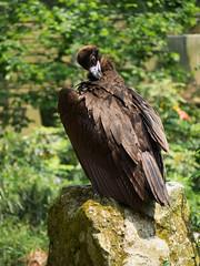 Cinereous vulture, aegypius monachus (dynode.nl) Tags: ouwehandsdierenpark rhenen zoo animals wild bird scavenger vulture cinereousvulture aegypiusmonachus