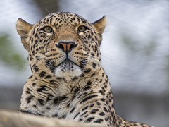 Male leopard looking around (Tambako the Jaguar) Tags: portrait face resting relaxing lazy looking pretty leopard big wild cat persian male zoo dhlhlzli tierpark bern berne switzerland nikon d5