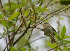 Chiffchaff (abritinquint Natural Photography) Tags: wild bird nature water river germany nikon natural wildlife 300mm telephoto nikkor luxembourg f4 vogel pf trier mosel tc14eii 300mmf4 chiffchaff teleconvertor chifchaff d7200 pfedvr