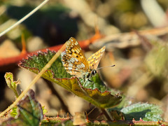 The Duke of Burgundy (Aves Lux) Tags: butterfly burgundy duke papillion