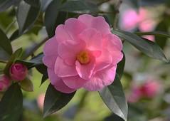 Camellia (careth@2012) Tags: nature petals spring nikon britishcolumbia camellia nikond3300 d3300