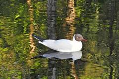 Blurred lines (KaarinaT) Tags: reflection water pond helsinki seagull gull herttoniemi blackheadedgull laughinggull naurulokki blurredlines blackheaded kartanonpuisto stirredlines