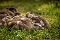 Curious - Egyptian Goslings (JTPhotography) Tags: baby cute sweet goose gosling