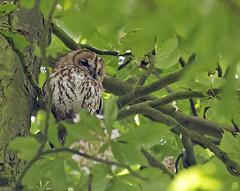Tawny-owl_4202 (Peter Warne-Epping Forest) Tags: uk bird eppingforest owl essex birdofprey tawnyowl strixaluco coppedhallpark