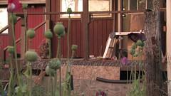 Danish Flag Papaver Somniferum Opium POPPY Pods n Flowers by- OrganicalBotanicals_Com 26 (gjaypub) Tags: flowers plants nature silhouette photography pod photos gardening bees seed seeds poppy poppies growing opium pods cultivation papaver somniferum morphine cultivating papaversomniferum 2016 potency poppyhead alkaloids organicalbotanicals
