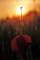 -d o m a n i - (swaily ◘ Claudio Parente) Tags: sunset sun macro nikon tramonto sole papaveri d300 papavero nikond300 swaily