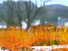 Moss on Wall (IrenicRhonda) Tags: orange plant public wall scotland moss highlands fuzzy bokeh shady mossy damp p4m 500px p4mportfolio