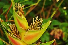 DSC_0302 (vernica santos, joyas) Tags: red verde green planta al rojo flora flor tropical panama hermoso silvestre aire seco libre natual pty tropico