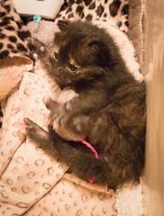IMG_9543 (jaglazier) Tags: usa cats cute animals toys babies unitedstates may indiana kittens bloomington mammals blackie 2016 52616 copyright2016jamesaglazierandjamesaferguson
