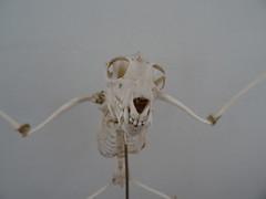 (*Petrine*) Tags: flughund livetsmuseum lund schdel schweden skelett
