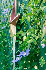 (Robert Shatzer) Tags: flower nature clematis vine lattice
