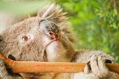 male southern koala - great otway (2 of 2) (Daniela Parra F.) Tags: male malekoala marsupial mammal mammals animales animal mamifero mamfero wildlife wildmammals wildmale southernkoala bigboy greatoceanroad greatotwaynationalpark gum chewinggum herbivory herbivore hungry koala wildkoala