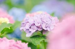 ふわふわ (@_chan) Tags: hydrangea ajisai 紫陽花 あじさい 権現堂