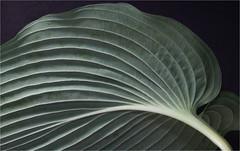 Hosta (ioensis) Tags: macro june garden leaf underside ribs hosta 2016 jdl ioensis 59431bjohnlangholz2016