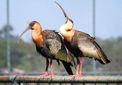 CURICACA (sileneandrade10) Tags: curicaca pssaro aves avesdobrasil animal sileneandrade ibis cerrado nature natureza