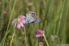 DN9A2857 (Josette Veltman) Tags: macro canon butterfly insect natuur bugs argus vlinder canon100mmmacro natuurmonumenten plebejusargus plebejus canon100mm28 macrofotografie heideblauwtjeheideblauwtjedopheide