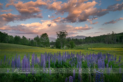 Lupines in Sugar Hill - Explored (betty wiley) Tags: flowers summer moon storm field clouds newengland newhampshire lupines bettywileyphotography