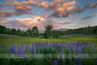 Lupines in Sugar Hill - Explored