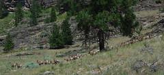California Big Horn sheep at Vaseux Lake (cbaarch) Tags: california mammal sheep britishcolumbia okanagan bighorn ewe mcintyrecreekroad vaseuxwildlifecentre