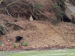 B6250507 (VANILLASKY0607) Tags: rabbit bunny bunnies nature animal japan photo wildlife wildanimal hydrangea rabbits rabbitisland wildrabbit okunoshima