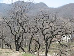 """柿子树 • <a style=""""font-size:0.8em;"""" href=""""http://www.flickr.com/photos/10248665@N07/6864266106/"""" target=""""_blank"""">View on Flickr</a>"""