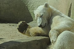 Eisbr Siku im Ouwehands Dierenpark in Rhenen (Ulli J.) Tags: netherlands zoo nederland polarbear paysbas ijsbeer rhenen niederlande eisbr siku ouwehandsdierenpark ourspolaire