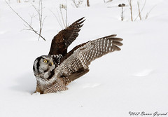 Northern Hawk Owl  9415 (Bonnieg2010) Tags: canada raptor alberta owl hawkowl northernhawkowl onlythebestofnature allnaturesparadise bonniegrzesiak