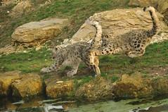Snow Leopard Cubs Playing (Ami 211) Tags: bigcats snowleopard unciauncia felidae pantherinae uncia