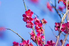 Bearers of Good News (Fesapo) Tags: pink flowers blue sky color colour nature japan canon prime spring colorful pretty dof bokeh blossoms 7d shimane colourful haru goodnews izumo plumblossoms     135mmf2l baika