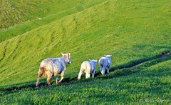 I will follow. (Kiwi~Steve) Tags: newzealand rural nikon sheep nz lamb tauranga bayofplenty thegalaxy papamoa nikond90 bestcapturesaoi