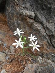 flower and rock (jecadim) Tags: flower nature rock forest spring priroda stena uma cvet
