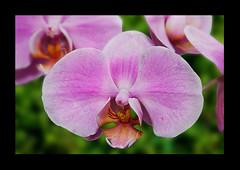 orquidea (Victor Ibarra) Tags: pink plant flower color green nature planet orqudea