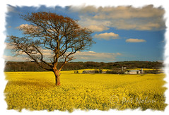 Fields of Gold (Pat Nolan Photography) Tags: waterford rapeseed fieldsofgold butlerstown patnolan carrickcameraclubmember bawnfune