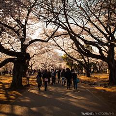 Sakura Avenue / Tokyo, Japan (yameme) Tags: travel flowers nature japan canon eos tokyo shinjuku  sakura cherryblossoms      shinjukugyoen   24105mmlis 5dmarkii 5d2