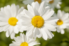daisies (Birgit F) Tags: flower macro green norway daisies norge daisy grimstad austagder dømmesmoen