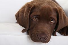 Hugo Studio (tagdrei) Tags: brown cute puppy eyes chocolate platz labradorretriever braun augen blick 9weeks welpe liegend ss ef24105mm 9wochen canoneos5diii