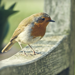 lucky charm (Black Cat Photos) Tags: uk england food baby bird nature robin rain weather canon blackcat garden bench happy photography photo europe babies nest feeding wildlife ivy charm move m fave luck chicks favourite yey protect chuffed blackcatphotos