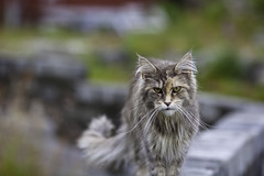 Katt (bjarne.stokke) Tags: norway norge sommer norwegen juli hordaland 2012 katt 135mm bruvik canon5dmarkii mygearandme mygearandmepremium mygearandmebronze mygearandmesilver mygearandmegold mygearandmeplatinum mygearandmediamond galleryoffantasticshots highqualityanimals