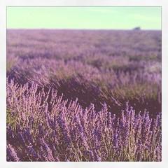 lavanda (Viaggimarilore) Tags: flowers france landscape francia paesaggi provenza lavanda