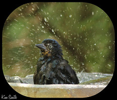 Splish Splash (Michigan Kim (NatureIsMyTherapy.com)) Tags: birds birdbath grackle commongrackle waterdroplets wetbird