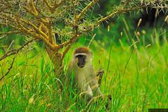 Vervet monkey uder a whistling thorn / Werweta pod świszczącą akacją