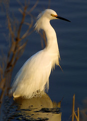 Photo of the Week - Snowy Egret (PA) (U. S. Fish and Wildlife Service - Northeast Region) Tags: philadelphia pa snowyegret wadingbird johnheinznationalwildliferefugeattinicum