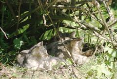 Wild cats at ease (Nicolien3000) Tags: sleeping germany deutschland rust peace wildcat duitsland slapen isselburg anholt leopoldpark wildekat anholterschweiz nicolien keizerleopold