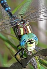 Canada Darner (Emery O) Tags: summer canada macro wisconsin canon dragonfly 7d greenbay darner odonata 180mm canadadarner 580exii tedfritschpark