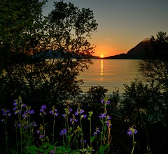 Blue flowers with sunset (John A.Hemmingsen) Tags: flowers sunset sun water landscape nordnorge troms nikkor1685dx nikond7000