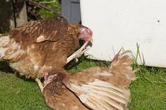 Wilma and Betty (RCB4J) Tags: garden scotland sunbathing hens tamronspaf90mmf28dimacro11 exbats sonyslta55v ronniebarron rcb4j