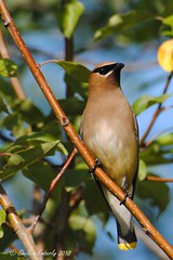 Adult Cedar Waxwing (Sheldon Emberly) Tags: wild bird nature perched cedarwaxwing fortwhytecenter nikond3000