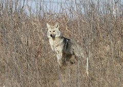 Coyote  _9019 (robenglish64) Tags: coyote